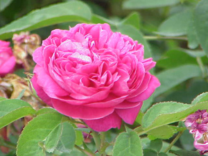 Rosa_damascena_wiki-creative-commons-stueber