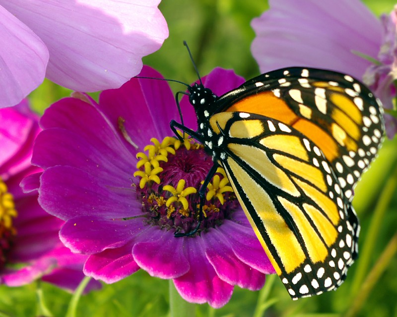 butterfly synchronicities