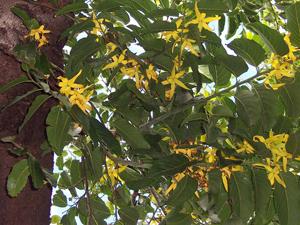 ylang-ylang-Cananga_odorata_flowers-wiki-creative-commons-gnu-free-b.navez